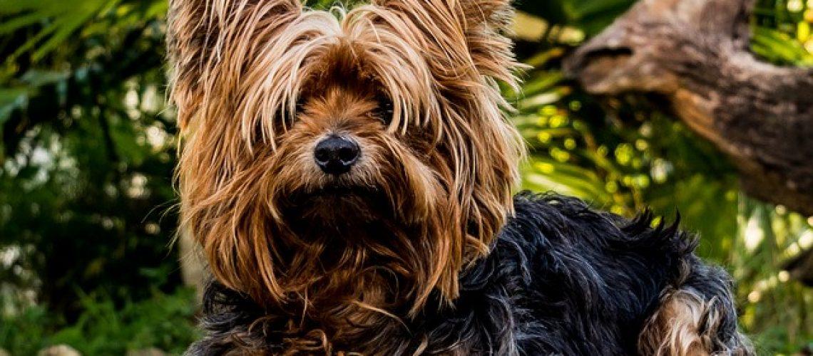 כלבי פפיון- למה הם כל כך יקרים